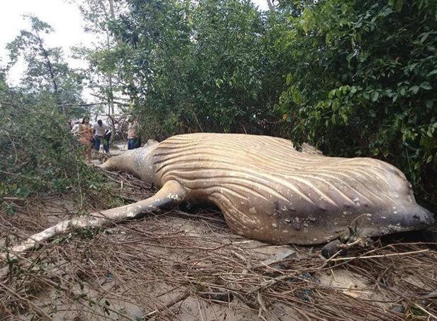 کشف یک نهنگ 10 تنی در جنگل های آمازون!