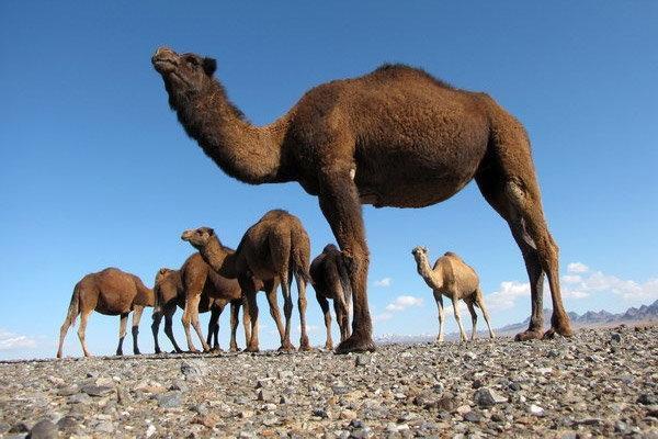 اجرای طرح گردشگری با شتر در منطقه مسیله قم