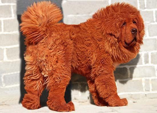 گران ترین سگ جهان، عکس